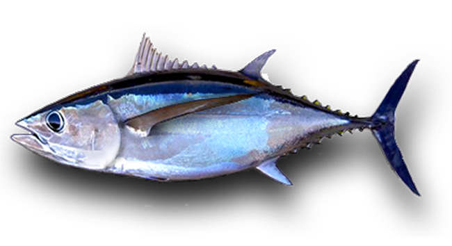 Albacore Tuna Fishing Charters