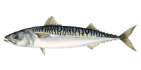 Mackerel-fish